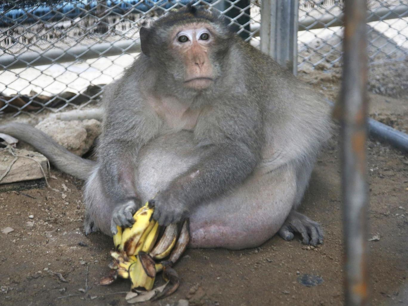 Caption: Uncle Fat, the overweight macaque. Photo courtesy Sakchai Lalit/AP