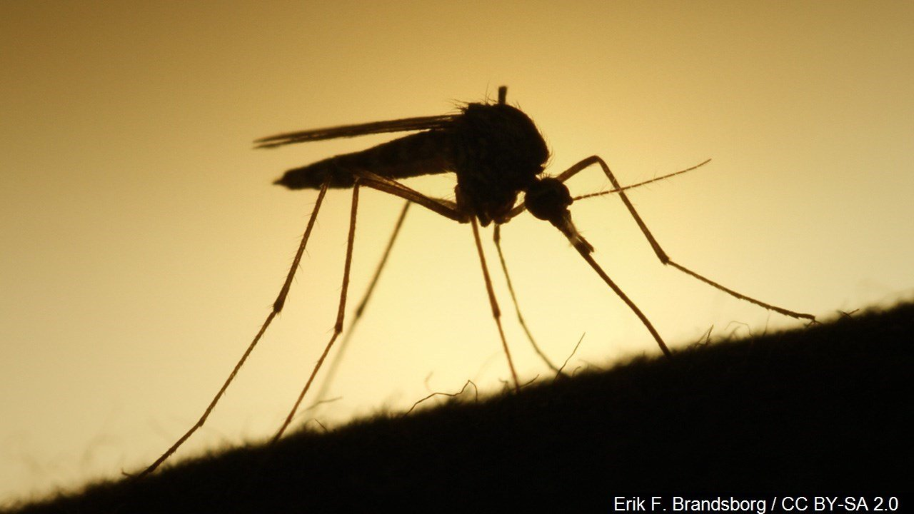 Mosquitoes in Mississauga test positive for West Nile Virus