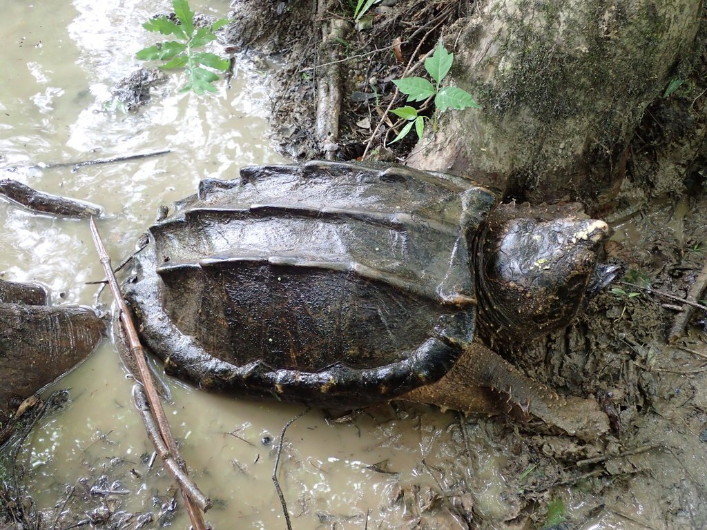 Alligator Snapping Turtle / TPWD