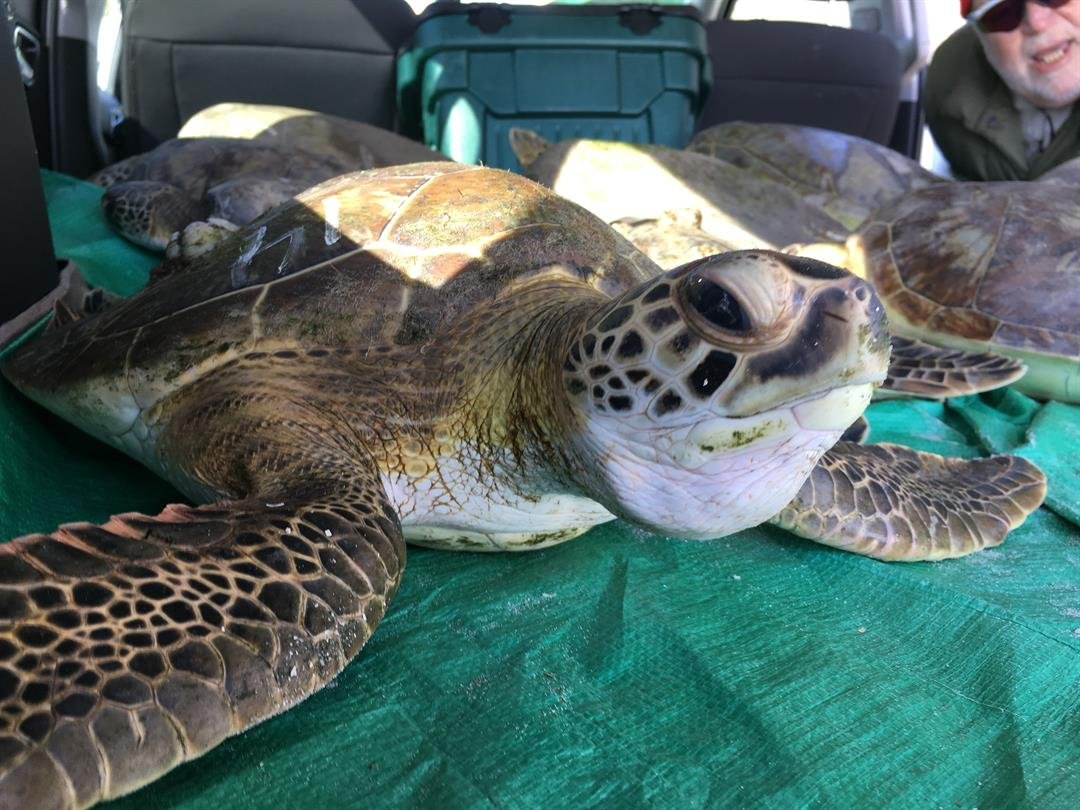 Record number of cold-stunned sea turtles in rehab