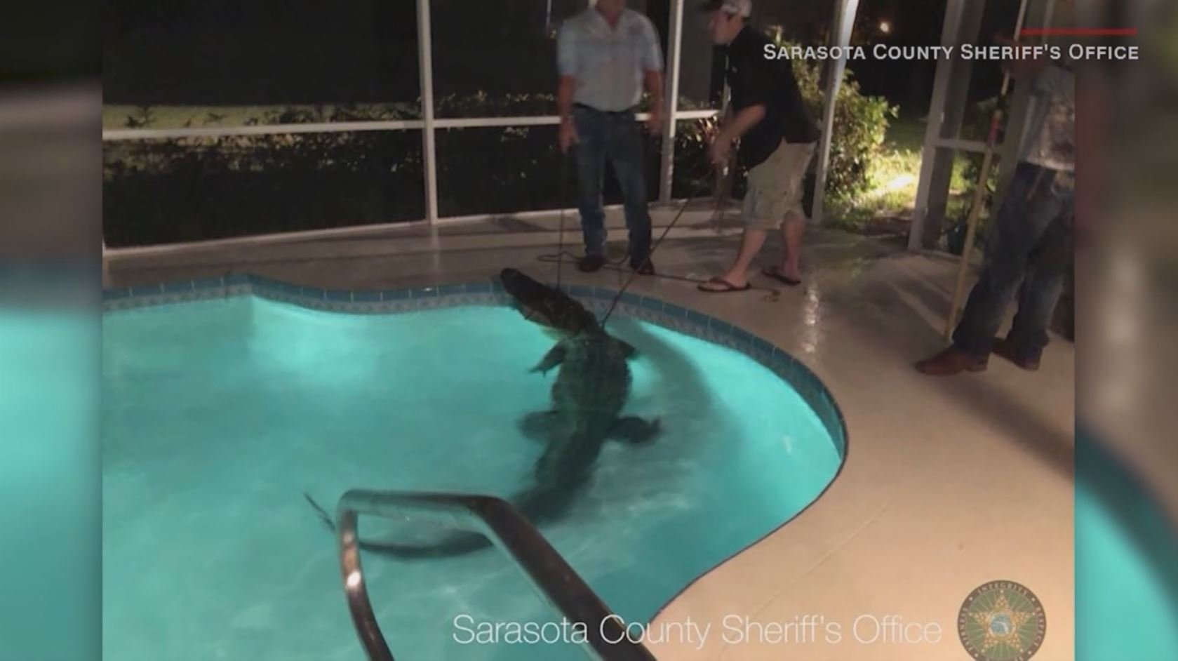 Homeowner finds 11-foot gator in swimming pool