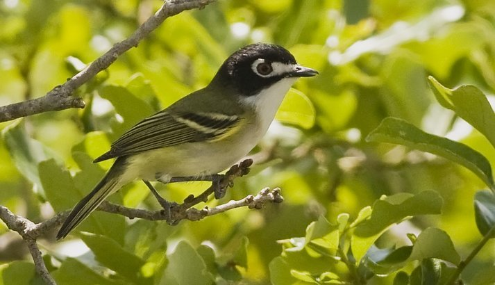Black-Capped Vireo photo: U.S. Fish and Wildlife Service