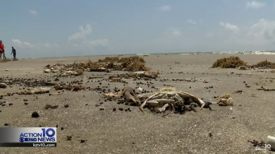 Thousands of dead blue crabs washed up along the beaches